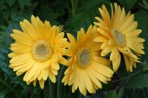 trois jaunes